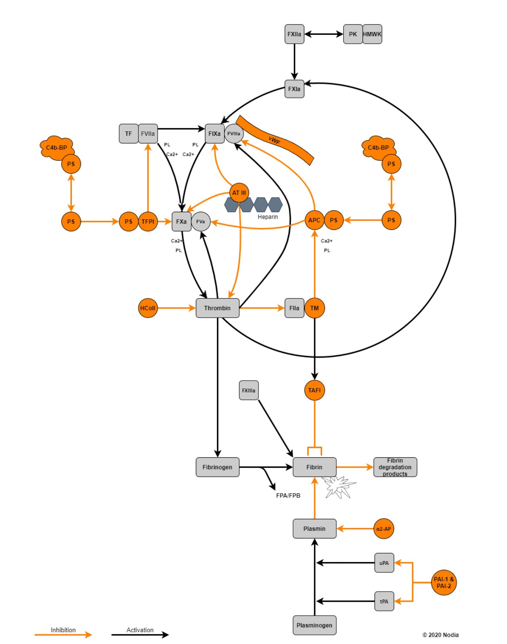 Interactive coagulation pathway